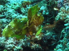 Leaf scorpionfish, Taenianotus triacanthus, UP1584 Stock Footage