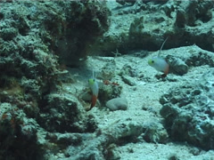 Fire dartfish hovering, Nemateleotris magnifica, UP1590 Stock Footage