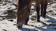 Przewalski-Horses close up portrait eating snow Stock Footage
