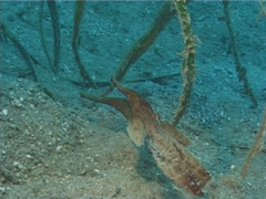 Longtail ghost pipefish swimming on seagrass meadow, Solenostomus armatus, Stock Footage