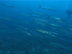 Group of scuba divers drifting in deep channel with Blackfin barracuda in Fiji Stock Footage