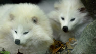 Arctic fox family - mother and baby Stock Footage