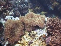 Magnificent sea anemone, Heteractis magnifica, UP1632 Stock Footage