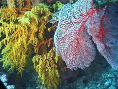 Red sea fan, Melithaea sp. Video 1639. Stock Footage