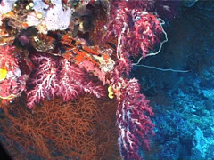 Rainbow hanging soft coral, Chironephthya sp. Video 1640. Stock Footage