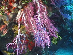 Rainbow hanging soft coral, Chironephthya sp. Video 1642. Stock Footage