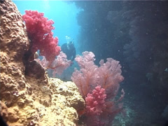 Buddy team of scuba divers in swimthrough with Variable soft coral in Fiji Stock Footage