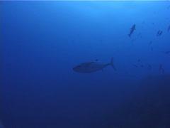 Fish | Tunas | Dogtooth Tuna | Deep Channel | Tracking Stock Footage