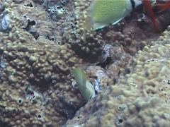 Stock Video Footage of Speckled butterflyfish feeding, Chaetodon citrinellus, UP1661
