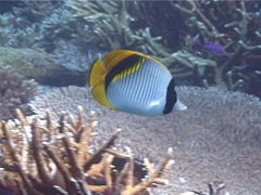 Lined butterflyfish swimming, Chaetodon lineolatus, UP1662 Stock Footage