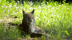 Lynx in the grass Stock Footage