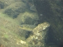 Long-finned eel swimming, Anguilla reinhardtii, UP1683 - stock footage