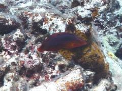 Fish | Wrasses | Twospot Wrasse | Hunting | Medium Shot Stock Footage