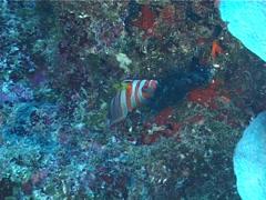 Harlequin tuskfish swimming, Choerodon fasciatus, UP1694 Stock Footage