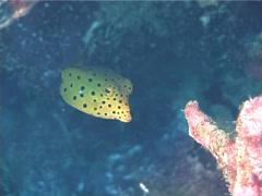 Juvenile Yellow boxfish swimming, Ostracion cubicus, UP1706 Stock Footage