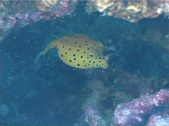 Juvenile Yellow boxfish swimming, Ostracion cubicus, UP1707 Stock Footage