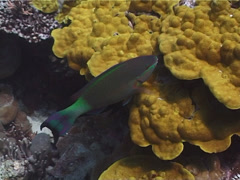 Bridled parrotfish swimming, Scarus frenatus, UP1721 Stock Footage