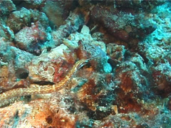 Orange-spotted pipefish swimming, Corythoichthys ocellatus, UP1731 Stock Footage