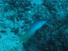 Sailfin dottyback hovering, Ogilbyina velifera, UP1740 Stock Footage