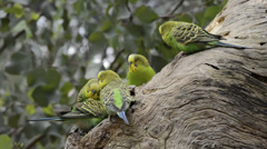 Budgerigar parrots near the nest Stock Footage