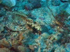 Twinspot goby swimming, Signigobius biocellatus, UP1744 Stock Footage