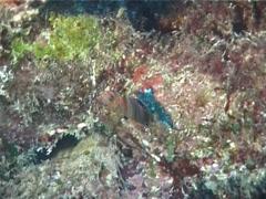 Juvenile Harlequin tuskfish swimming, Choerodon fasciatus, UP1746 Stock Footage