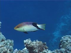 Fish | Wrasses | Blackfin Hogfish | Medium Shot | Scuba Diver Stock Footage
