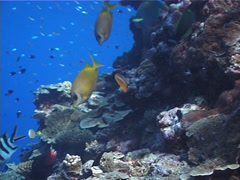 Coral rabbitfish swimming on shallow wall, Siganus corallinus, UP1752 Stock Footage