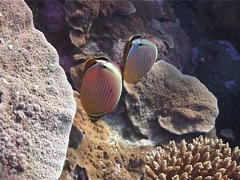 Redfin butterflyfish feeding, Chaetodon lunulatus, UP1754 Stock Footage
