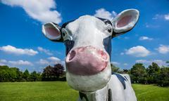 Comic cow Stock Photos