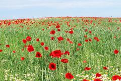 poppy flowers field landscape spring season - stock photo