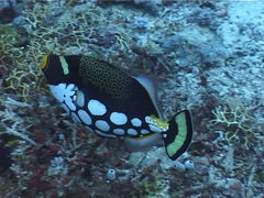 Clown triggerfish swimming, Balistoides conspicillum, UP1775 Stock Footage