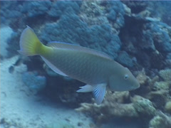 Cleaner wrasse cleaning and being cleaned, Labroides dimidiatus, UP1778 Stock Footage