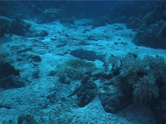 Coral trout hovering on deep coral reef, Plectropomus leopardus, UP1786 Stock Footage