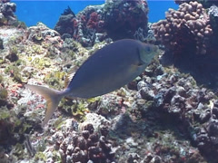 Forktail rabbitfish swimming, Siganus argenteus, UP1802 Stock Footage