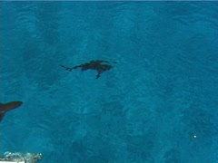 Grey reef shark swimming and schooling on water surface, Carcharhinus Stock Footage