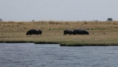 Pod of Hippopotamuses eating along river bank Stock Footage