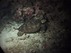Green turtle sleeping at night, Chelonia mydas, UP1839 Stock Footage