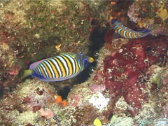 Stock Video Footage of Fish | Angelfish | Regal Angelfish | Feeding | Medium Shot