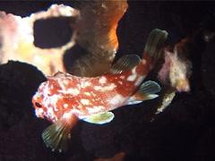 Yellow-spotted scorpionfish at night, Sebastapistes cyanostigma, UP1843 Stock Footage