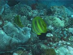 Rainford's butterflyfish feeding, Chaetodon rainfordi, UP1846 Stock Footage
