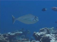 Humpnose unicornfish swimming, Naso tuberosus, UP1861 Stock Footage