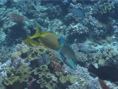 Coral rabbitfish feeding, Siganus corallinus, UP1868 Stock Footage