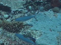 Double-lined fusilier cleaning and being cleaned and schooling, Pterocaesio Stock Footage