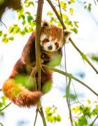 red panda  or lesser panda. - stock photo