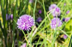 Chives in bloom in a bed in the garden - stock photo