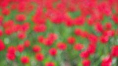 Field of red tulips blooming - rack focus Stock Footage