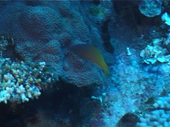 Twotone wrasse swimming, Halichoeres prosopeion, UP1894 Stock Footage