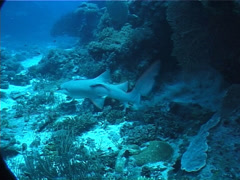 Tawny nurse shark swimming, Nebrius ferrugineus, UP1917 Stock Footage
