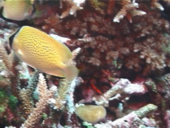 Stock Video Footage of Fish | Butterflyfish | Speckled Butterflyfish | Feeding | Medium Shot